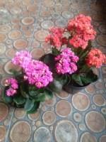 Jual tanaman bunga cocor bebek