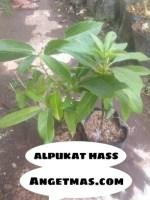 Jual Bibit tanaman buah Alpukat has