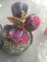 Jual tumbuhan puring Telor kerang