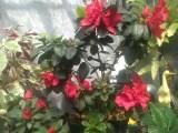 Bibit Tanaman Bunga azalea