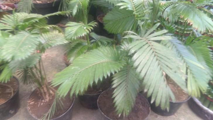 Jual tanaman palm rotan