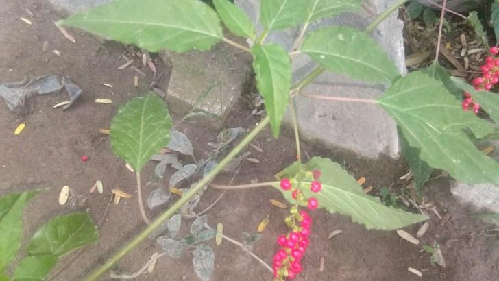 Bibit tanaman delapan dewa