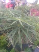 Bibit Bunga palm sedeng