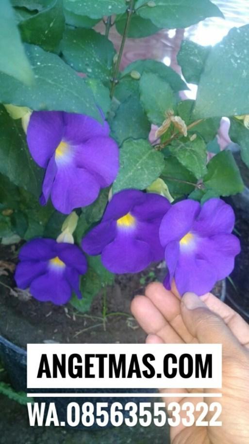 Tanaman bunga Thunberia Eracta