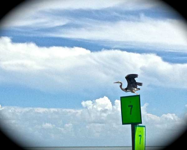 Key West offers some excellent birdwatching if you're so inclined. I'm not much of a bird watcher, however this endangered heron caught my special attention.