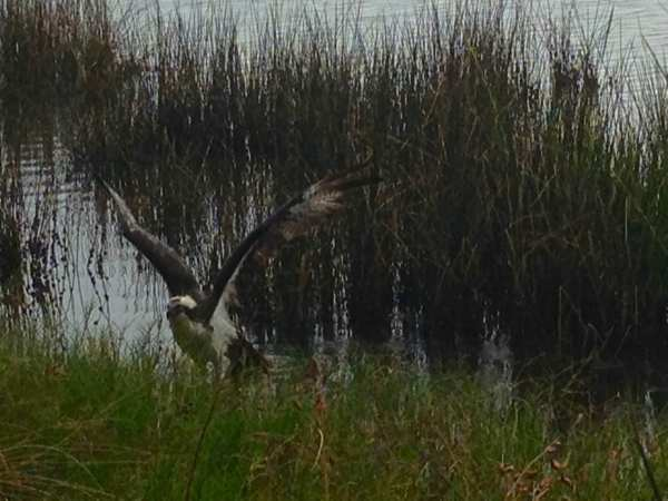 An osprey protects its nest at the edge of the marsh