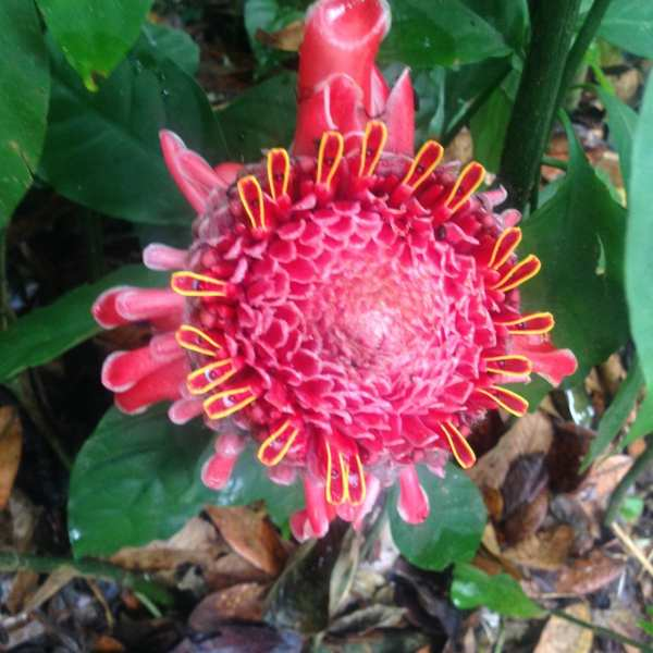 Red ginger in El Yunque