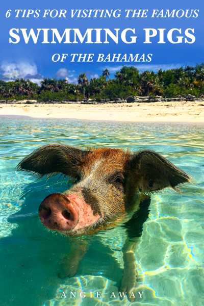 Is meeting the famous Swimming Pigs of Exuma, Bahamas on your bucket list? Check out these pictures and how to meet them too! #SwimmingPigs #Travel #Exuma #Bahamas