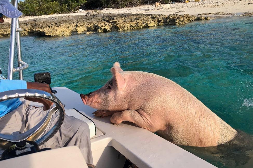 Long Island Bahamas - swimming pigs