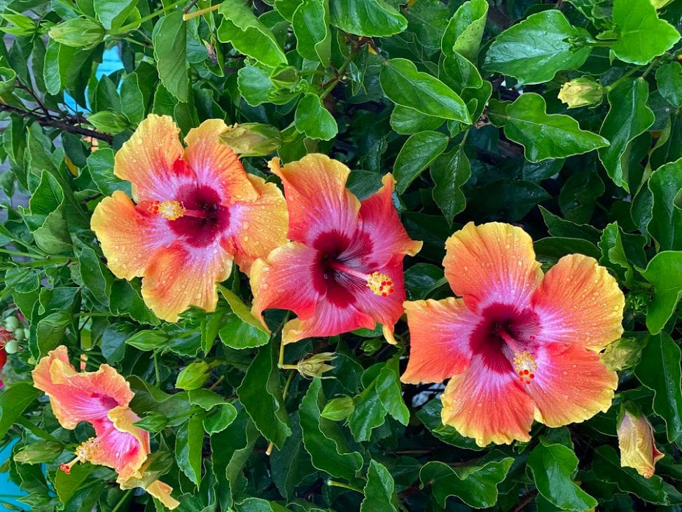 Hibiscus Flowers in Florida