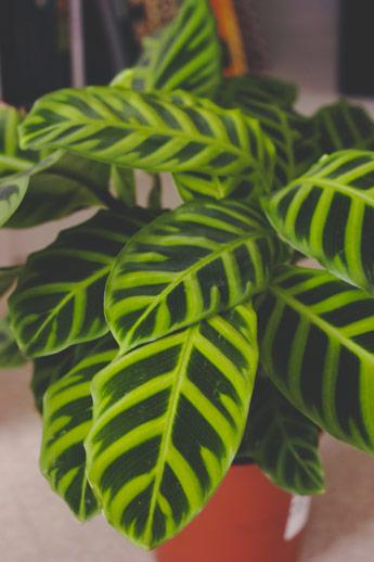 Coup de coeur pour la plante d'intérieure Calathéa Zébrina
