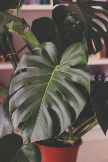 Ma monstera deliciosa, ma plante d'intérieure préférée