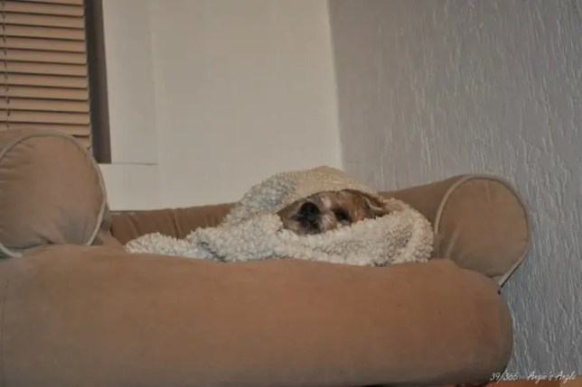 Day 39 (2) - Roxy cocooned herself - Angie's Angle