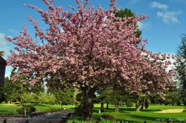 Day 109 - Blooming Tree