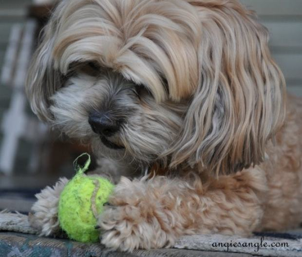 Ball Skilled Puppy - Wordless Wednesday - Roxy Batting the Ball (4)