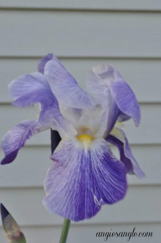 Catch the Moment 365 - Day 117 - Purple Iris