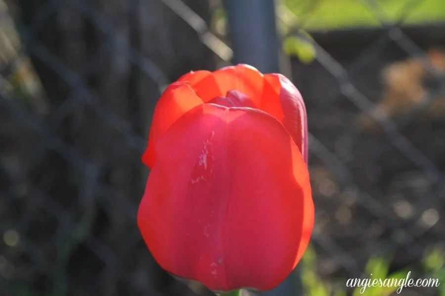 Catch the Moment 365 - Day 99 - Red Tulip
