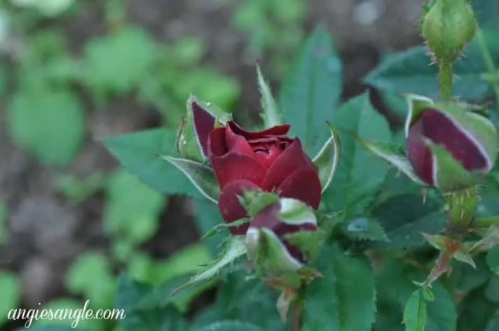 Catch the Moment 365 - Day 222 - Mini Rose Bush