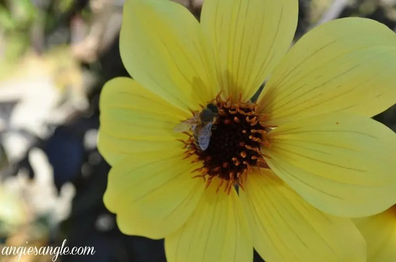 My Best Photographs of Flowers - Bee in Yellow Flower