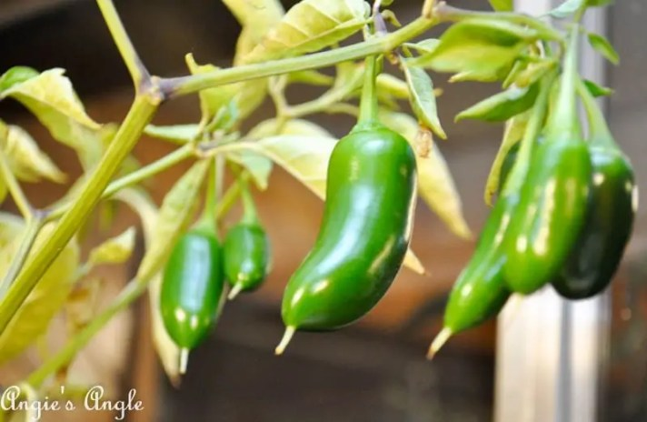2017 Catch the Moment 365 Week 44 - Day 308 - Jalapenos