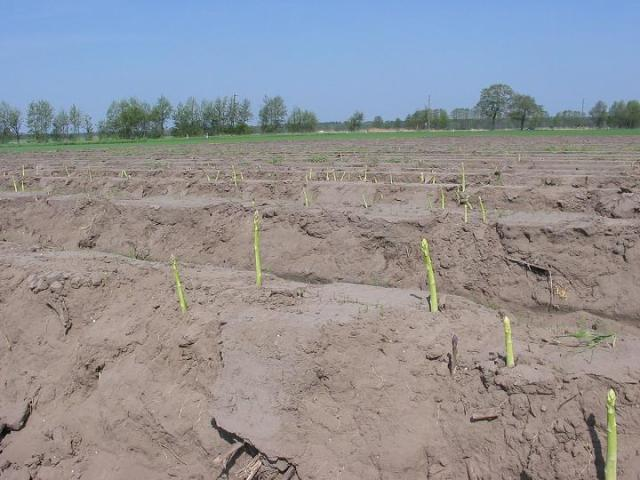 Weisser Spargel, white asparagus field, first Asparagus sprouts
