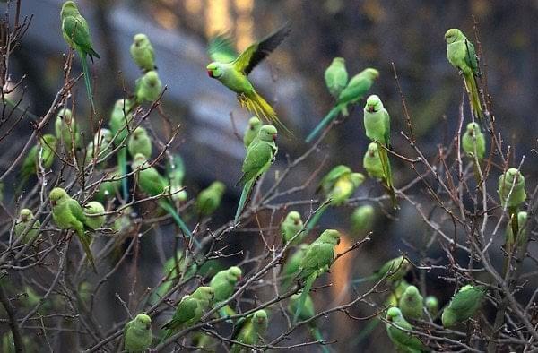 """Halsbandsittich"""" or ring-necked parakeet"""