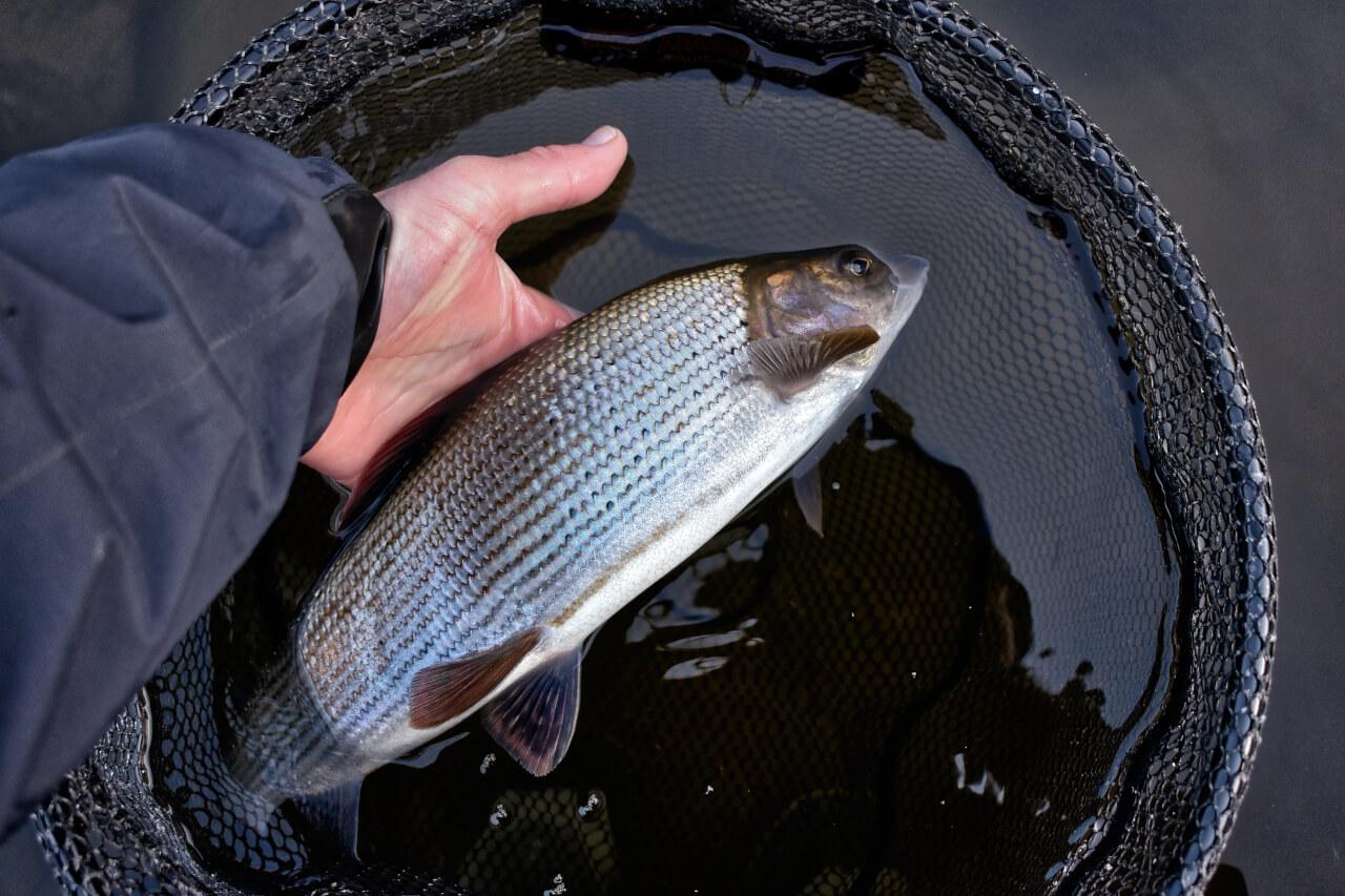 scottish grayling fishing guide