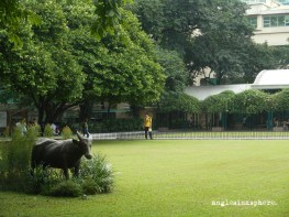 A statue of the school mascot, the tamaraw