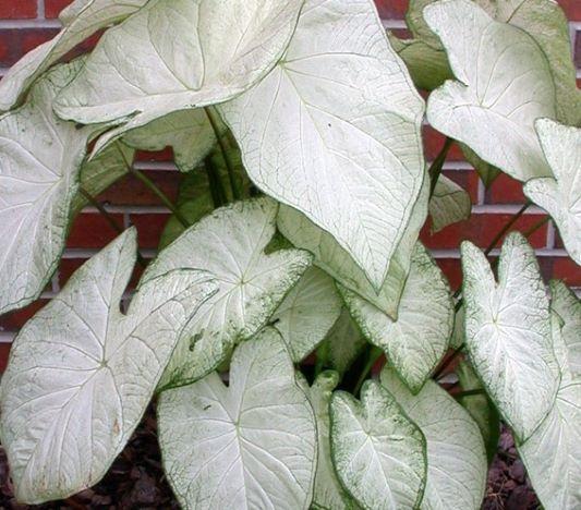 caladium garden white - anglia