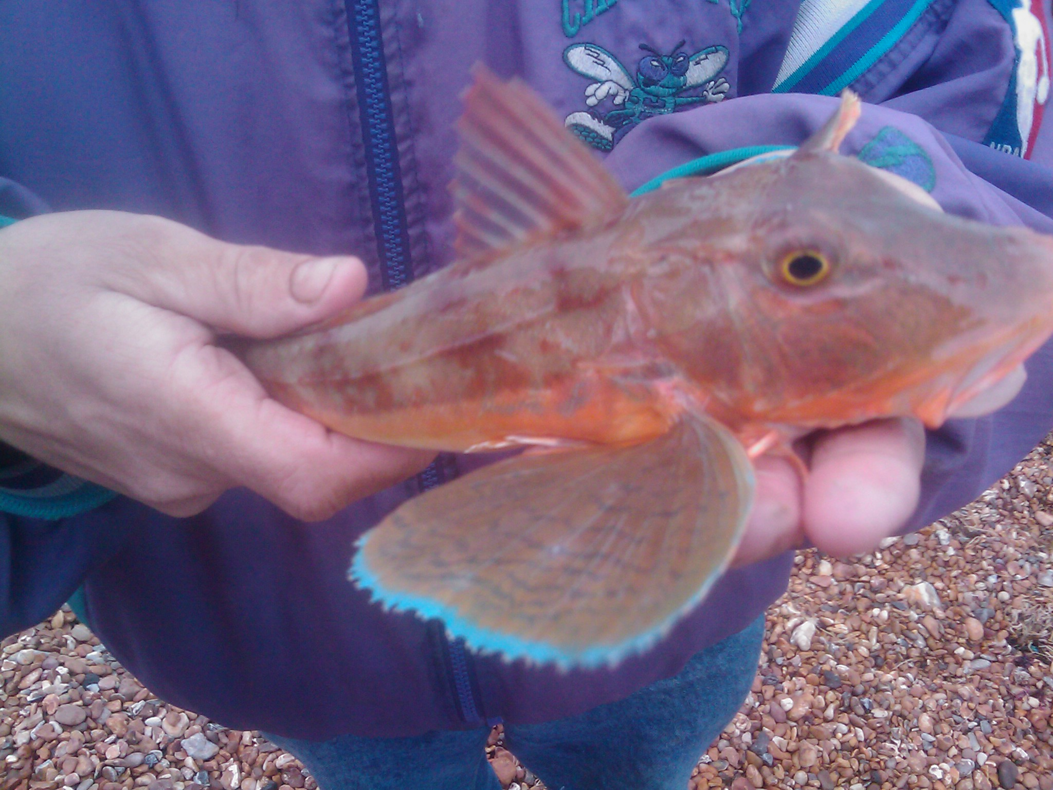 My Gurnard, modelled by Malc