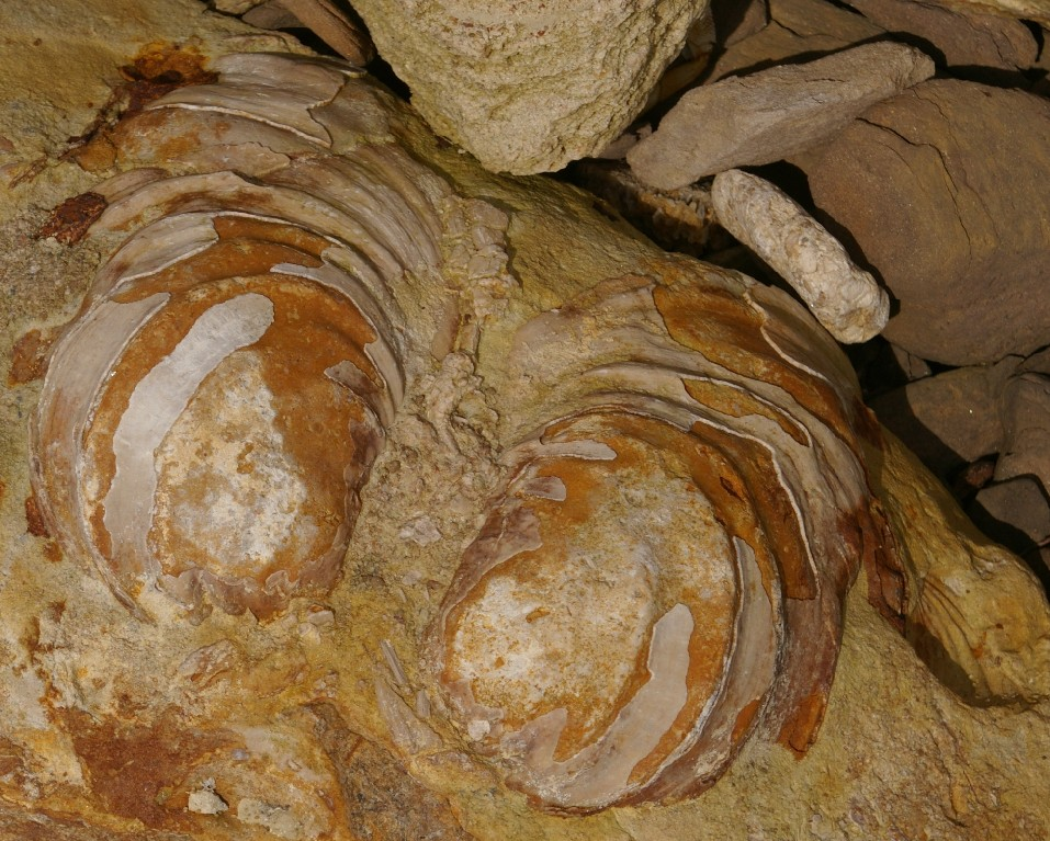 Close-up of a Cretaceous Pelecypods