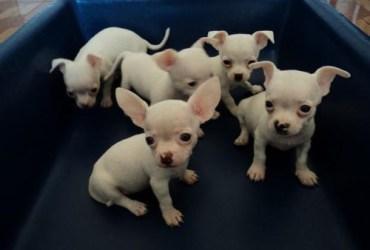 Chihuahua a venda