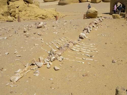 Viếng thung lũng cá voi hóa thạch ở Ai Cập - 2