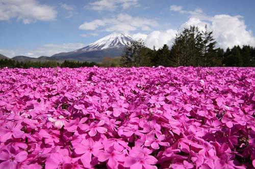 Đắm chìm trong thiên đường hoa Chi Anh ở Nhật Bản - 2