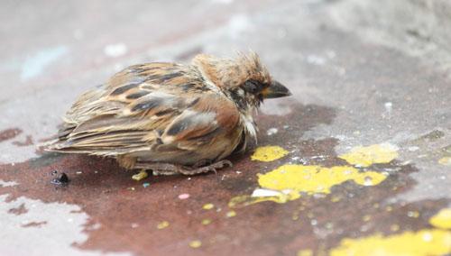 Cái chết bi thương của chim phóng sinh mùa Vu Lan - 6