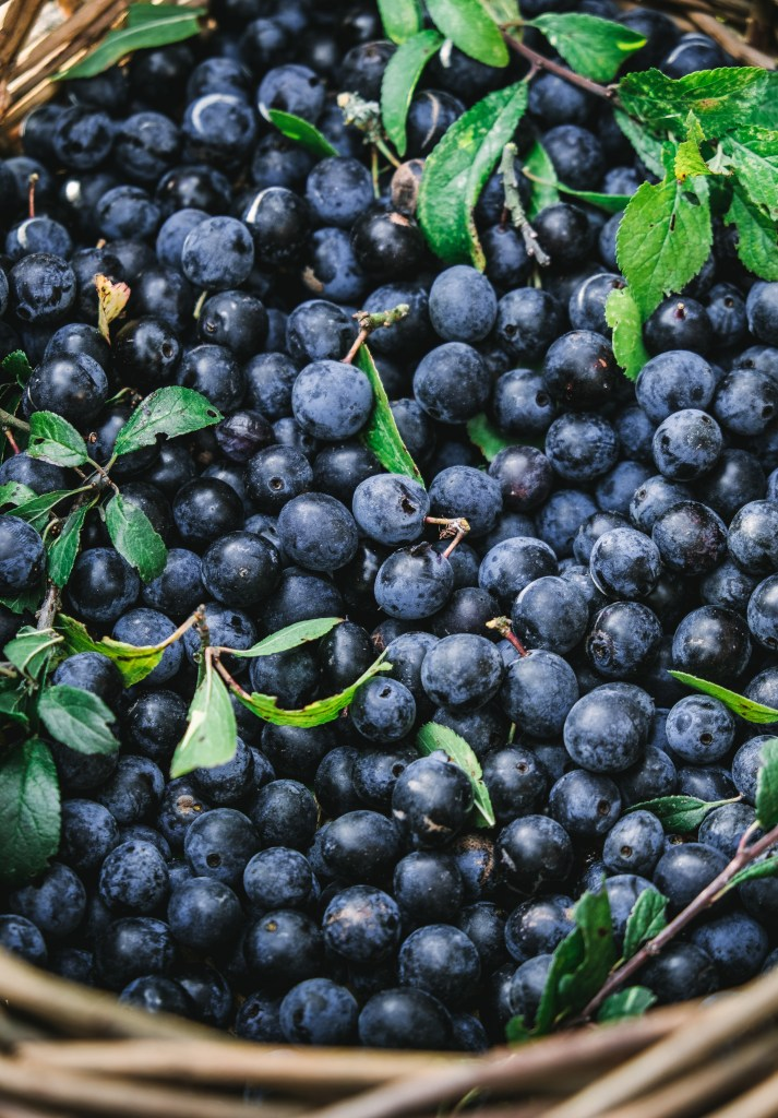 Sloes, foraging