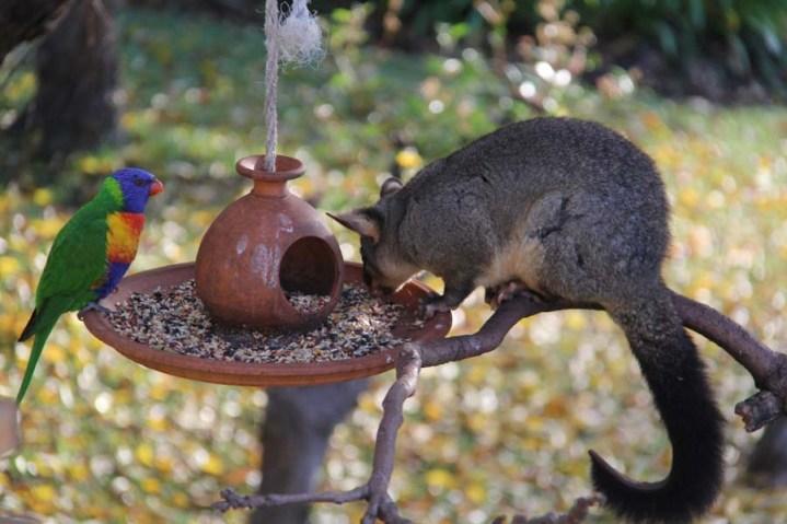 Rainbow Lorikeet and Possum eating together