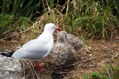 Stressed mother Seagull and chicks
