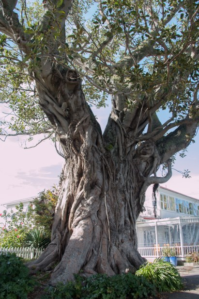 This Morton Bay Fig Tree was planted in about 1870.