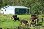 between Opononi and Waihu