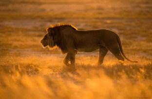 Lion in fire