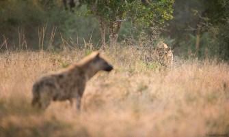 Lion & hyène - Hluhluwe Umfolozi - Afrique du Sud