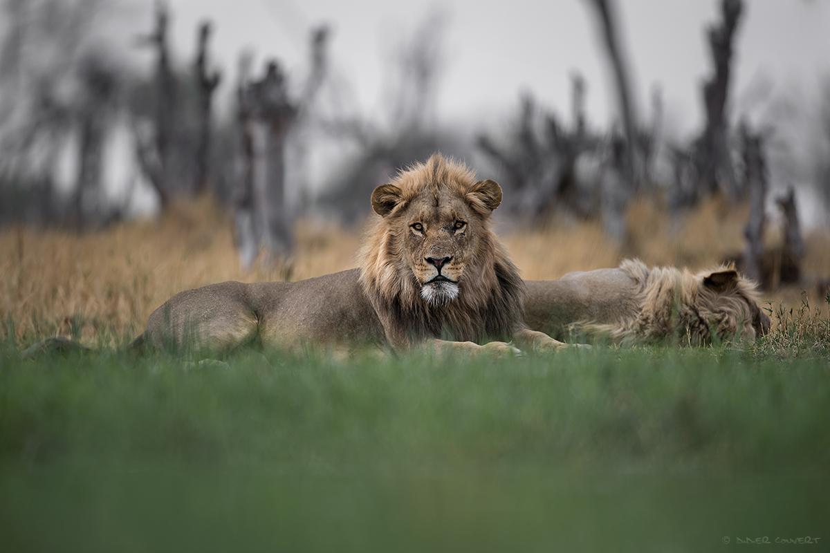 Lion - Khwai - Botswana
