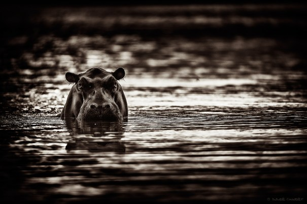 Hippo pool
