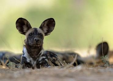 Wildog - Manapools - Zimbabwe
