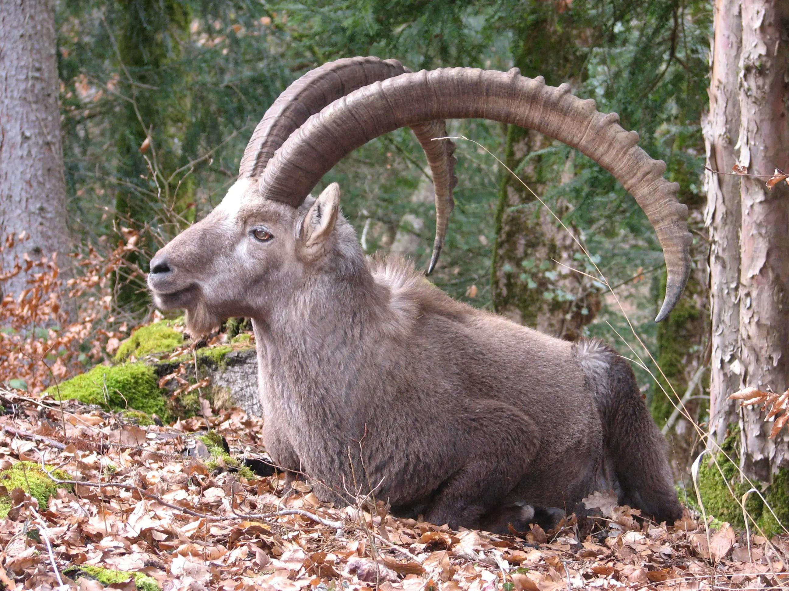 https://i0.wp.com/animais.culturamix.com/blog/wp-content/gallery/cabrito-montes2/cabrito-montes-4.jpg