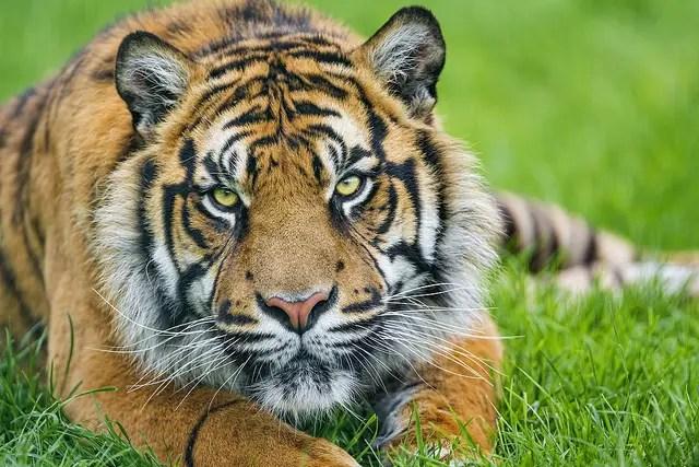 O Tigre De Java e Sua Histria  Animais  Cultura Mix