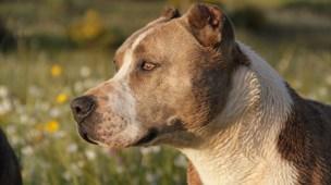 lista das 20 raças de cachorros mais perigosas do mundo