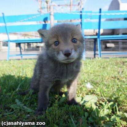 「あれ…犬じゃない?」住民が拾ったのは子犬ではなく、キツネの赤ちゃんだった。旭山動物園に保護される