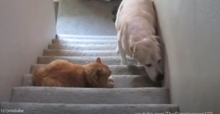 【ここから先は通さないニャン!】門番猫が怖くて先に進めない犬たちが大集合